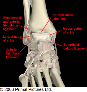 Anterior Ankle Exam